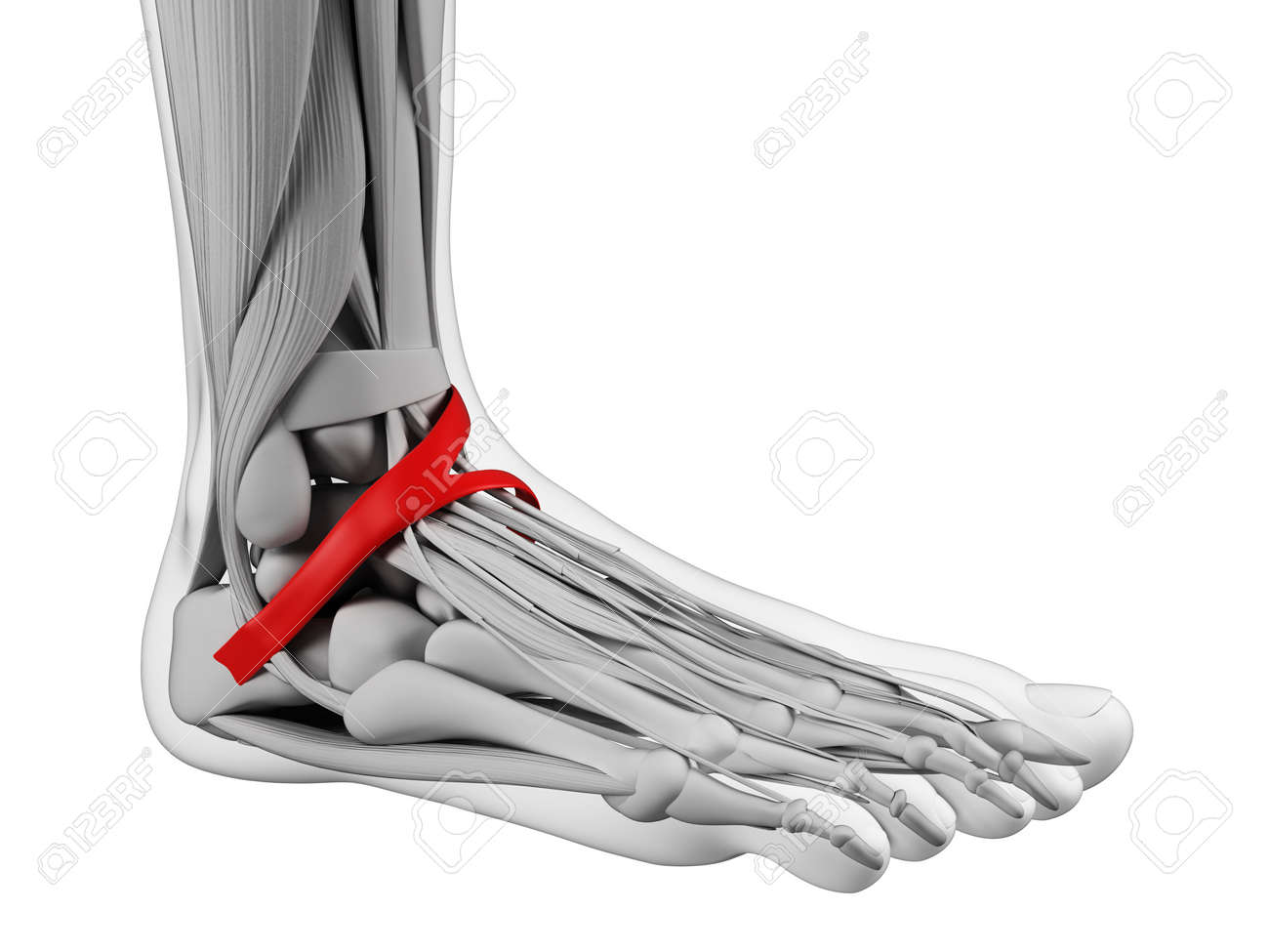 Foot Anatomy - Inferior Extensor Retinaculum Stock Photo, Picture ...