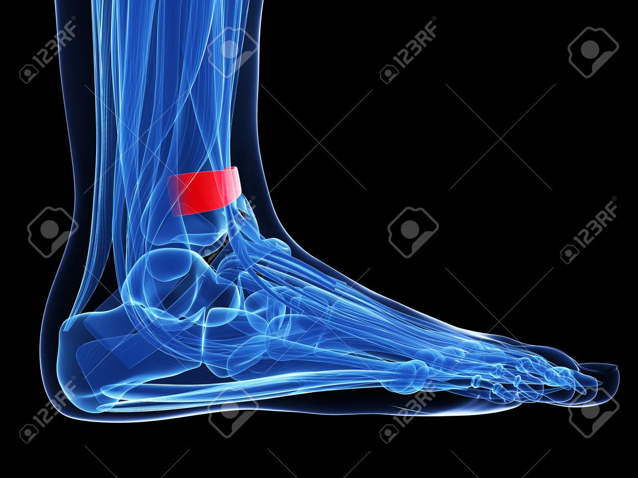 Foot Anatomy - Superior Extensor Retinaculum Stock Photo, Picture ...