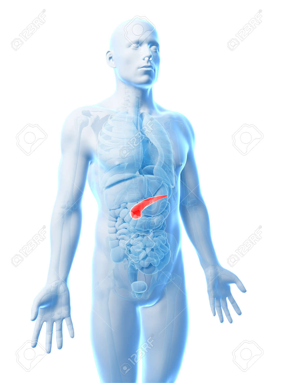 3d Rendered Illustration Of The Human Pancreas Stock Photo, Picture ...