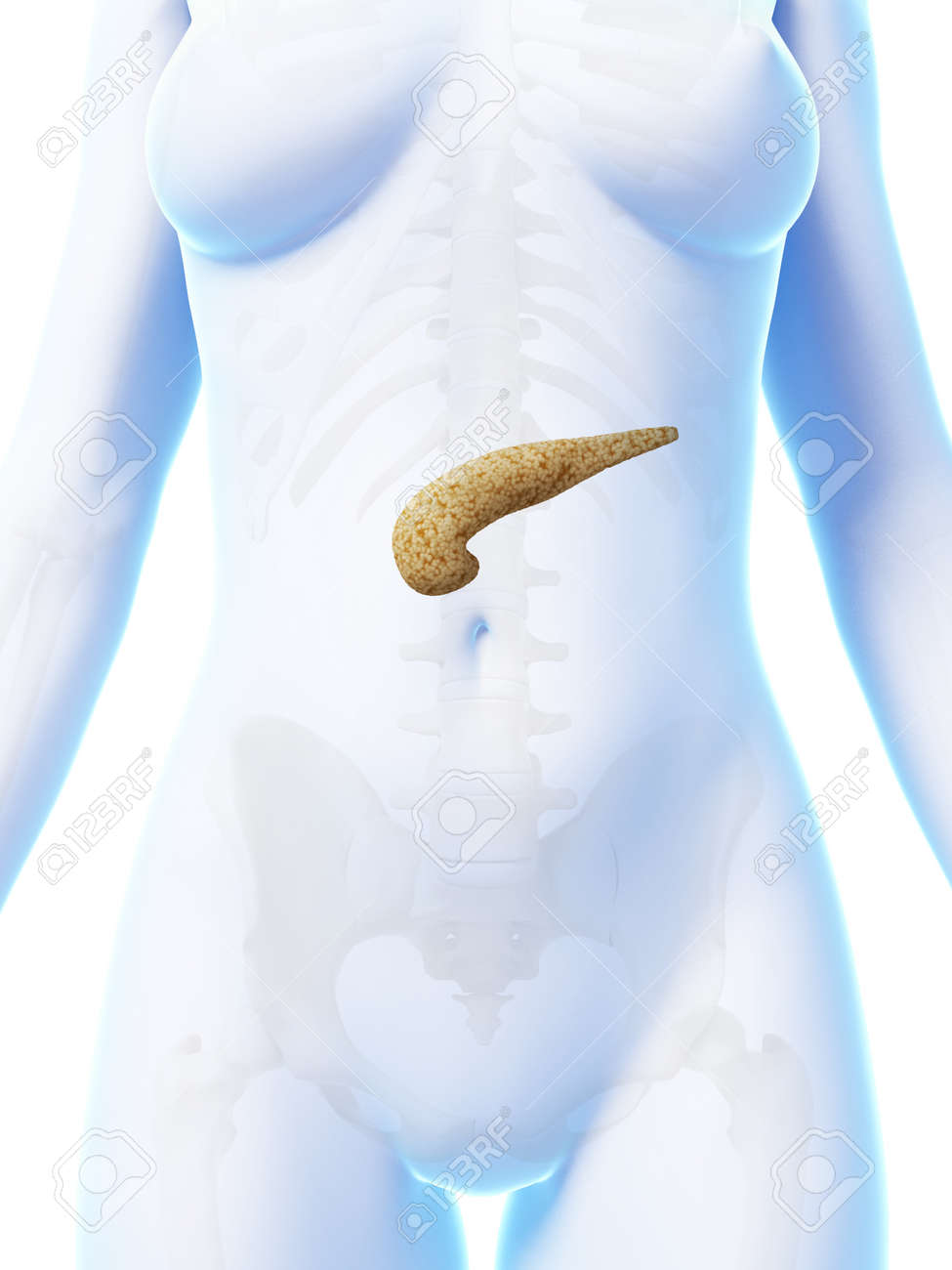 3d rendered illustration of the female pancreas Stock Photo - 18448534