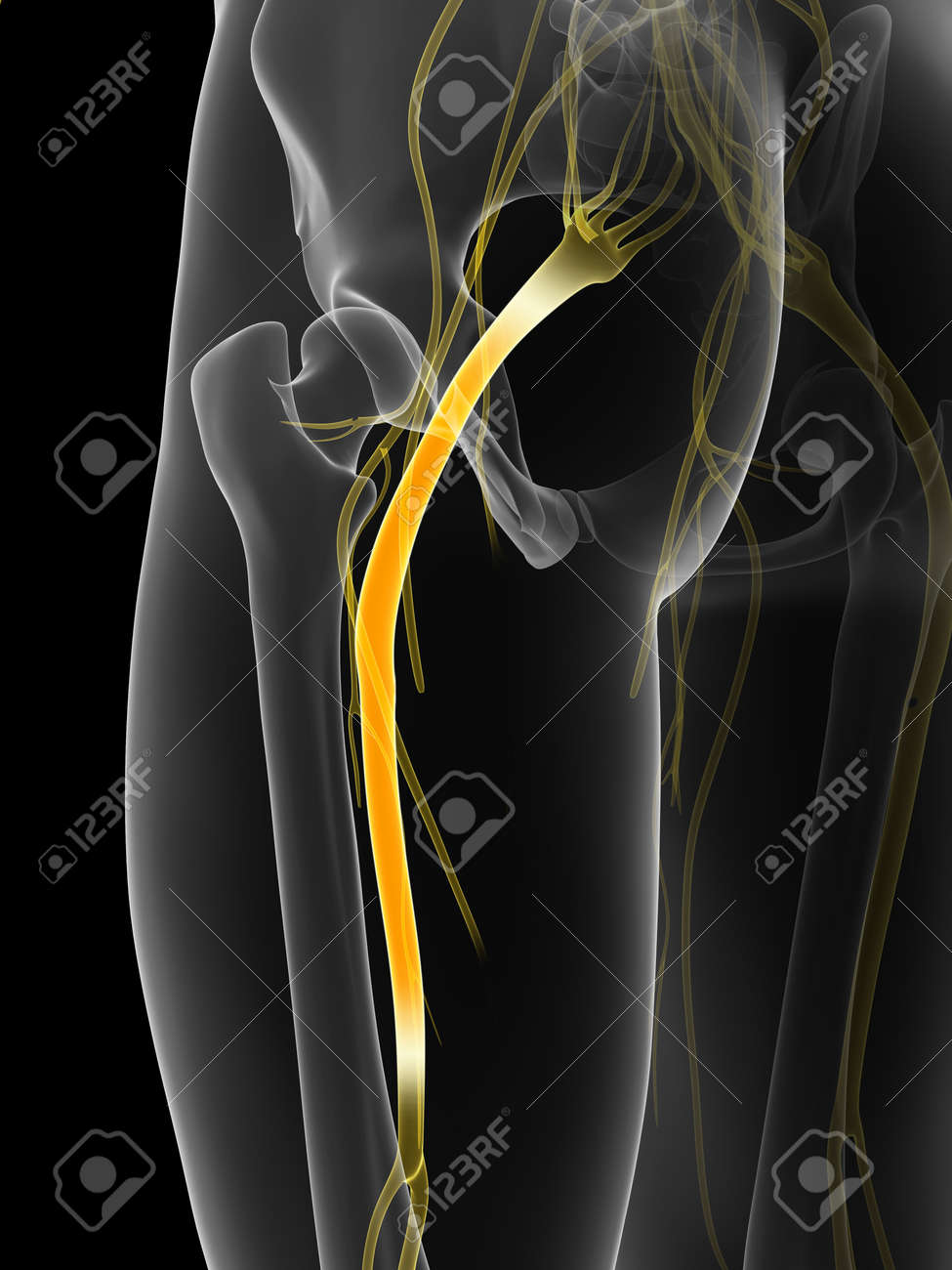 3d Rendered Illustration Of The Sciatic Nerve Stock Photo Picture
