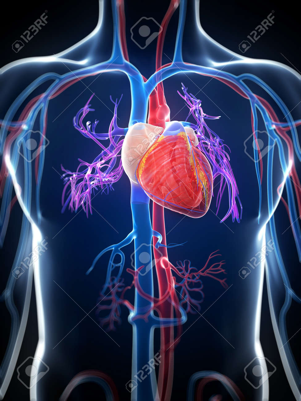 Image result for images of the human heart