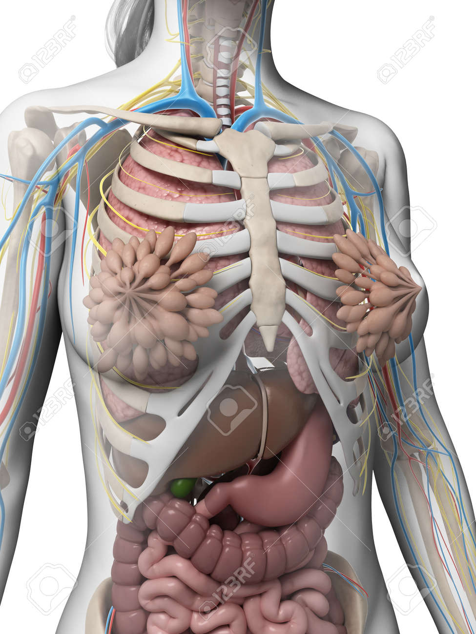 3d Rendered Illustration Of The Female Anatomy Stock Photo Picture