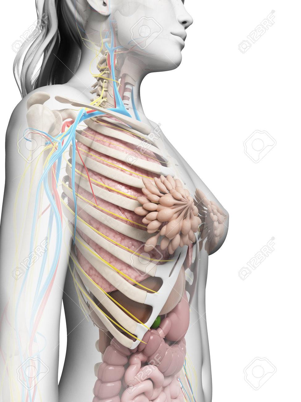 3d rendered illustration of the female anatomy Stock Illustration - 18448838