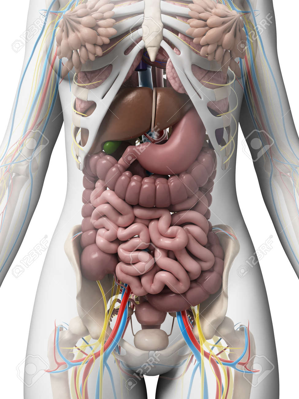 3d Rendered Illustration Of The Female Anatomy Stock Photo, Picture ...