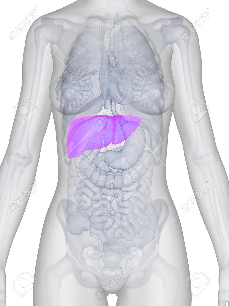 3d rendered illustration of the female anatomy - liver Stock Illustration - 19040134