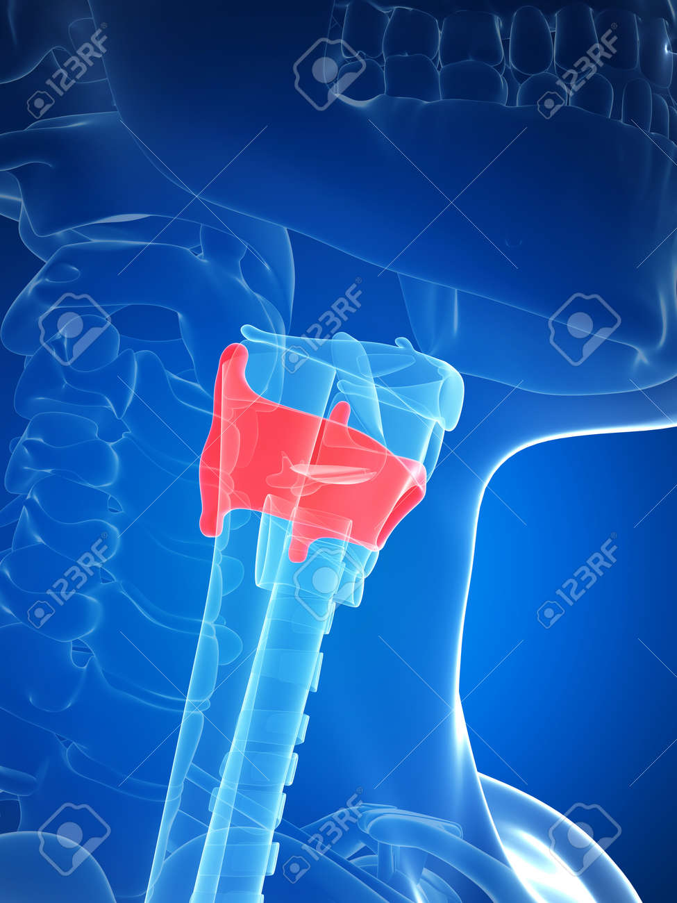 3d Rendered Illustration Of The Larynx Anatomy - Thyroid Cartilage ...