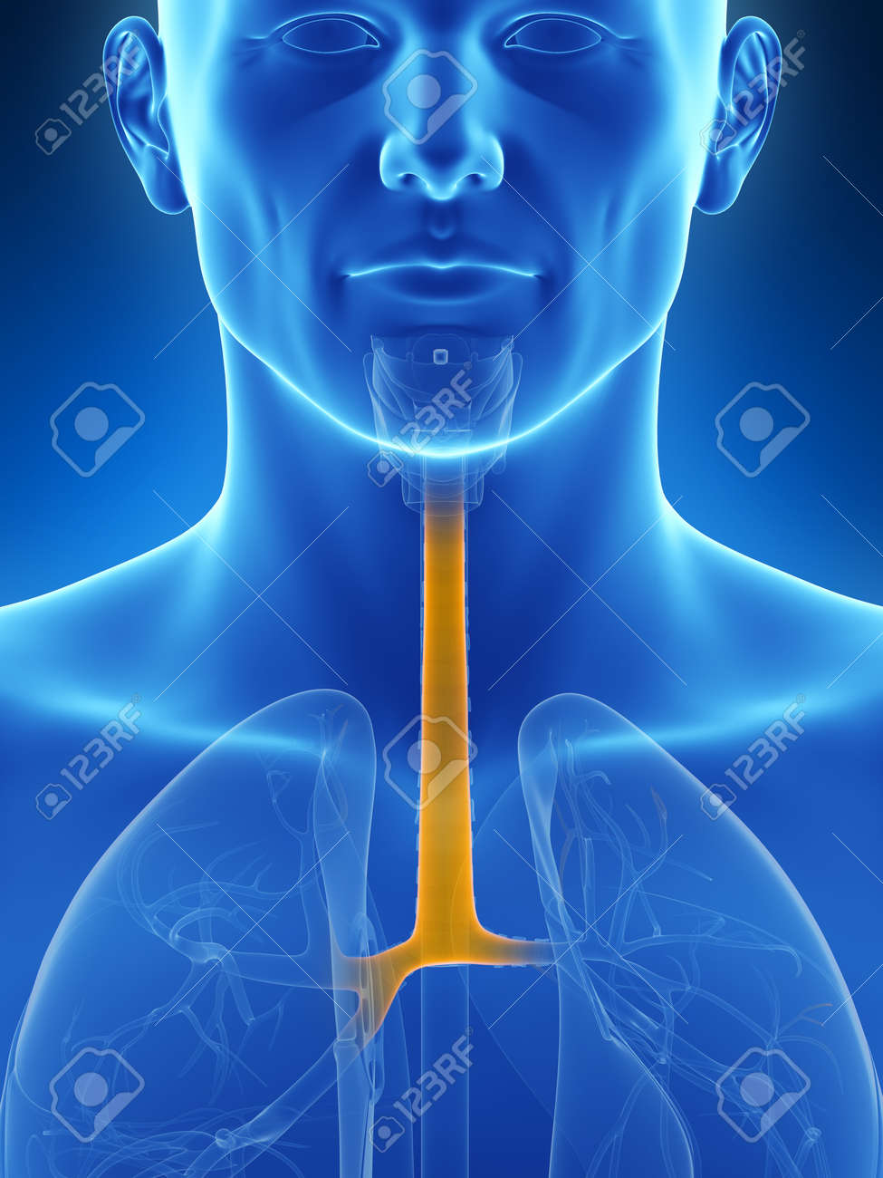 3d Rendered Illustration Of The Trachea Stock Photo Picture And