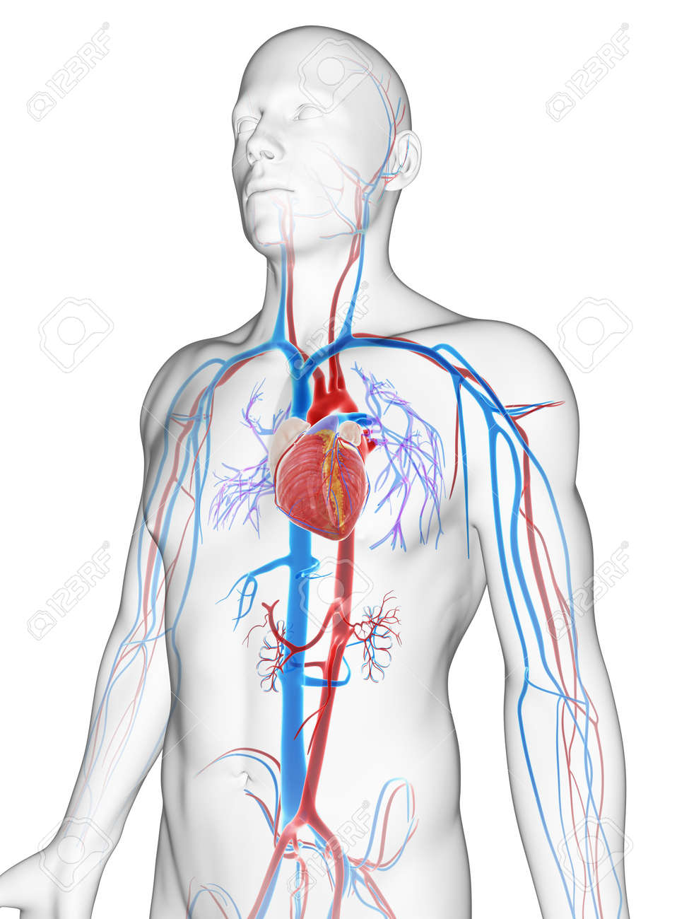 3d Rendered Illustration Of The Male Vascular System Stock Photo ...