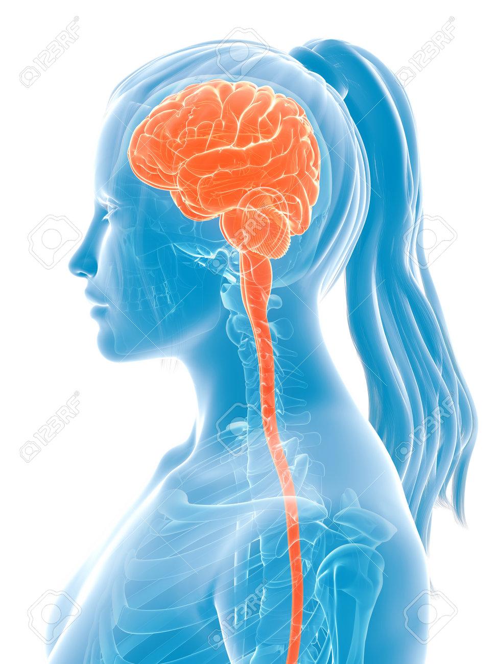 3d rendered medical illustration - female brain Stock Illustration - 22579610