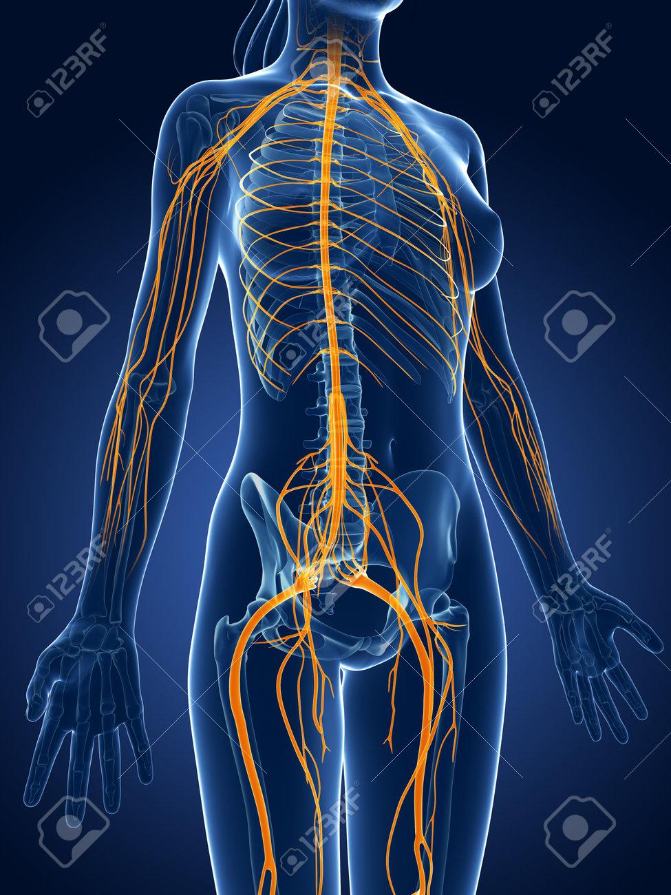 3d rendered medical illustration -female  nerve system Stock Illustration - 22584047