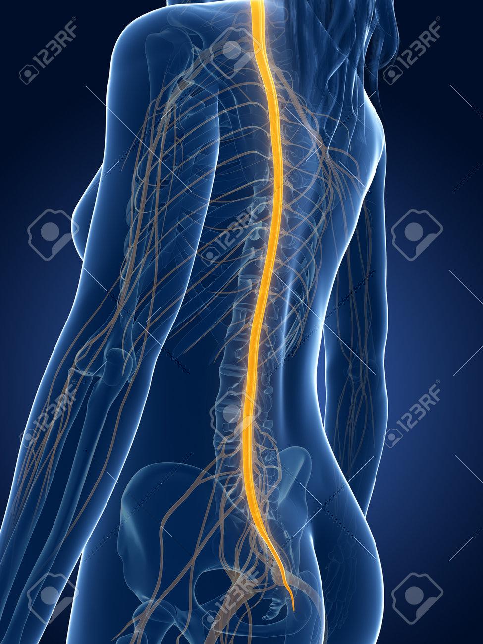 3d rendered medical illustration - female nerves Stock Photo - 22584149