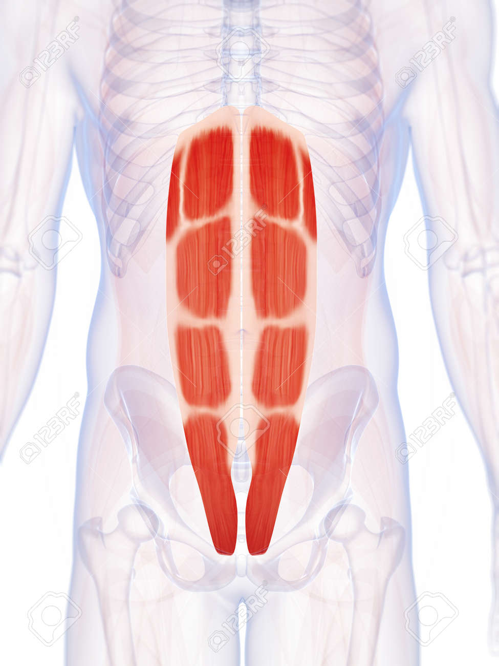 3d Rendered Illustration Of The Abdominal Muscles Stock Photo ...