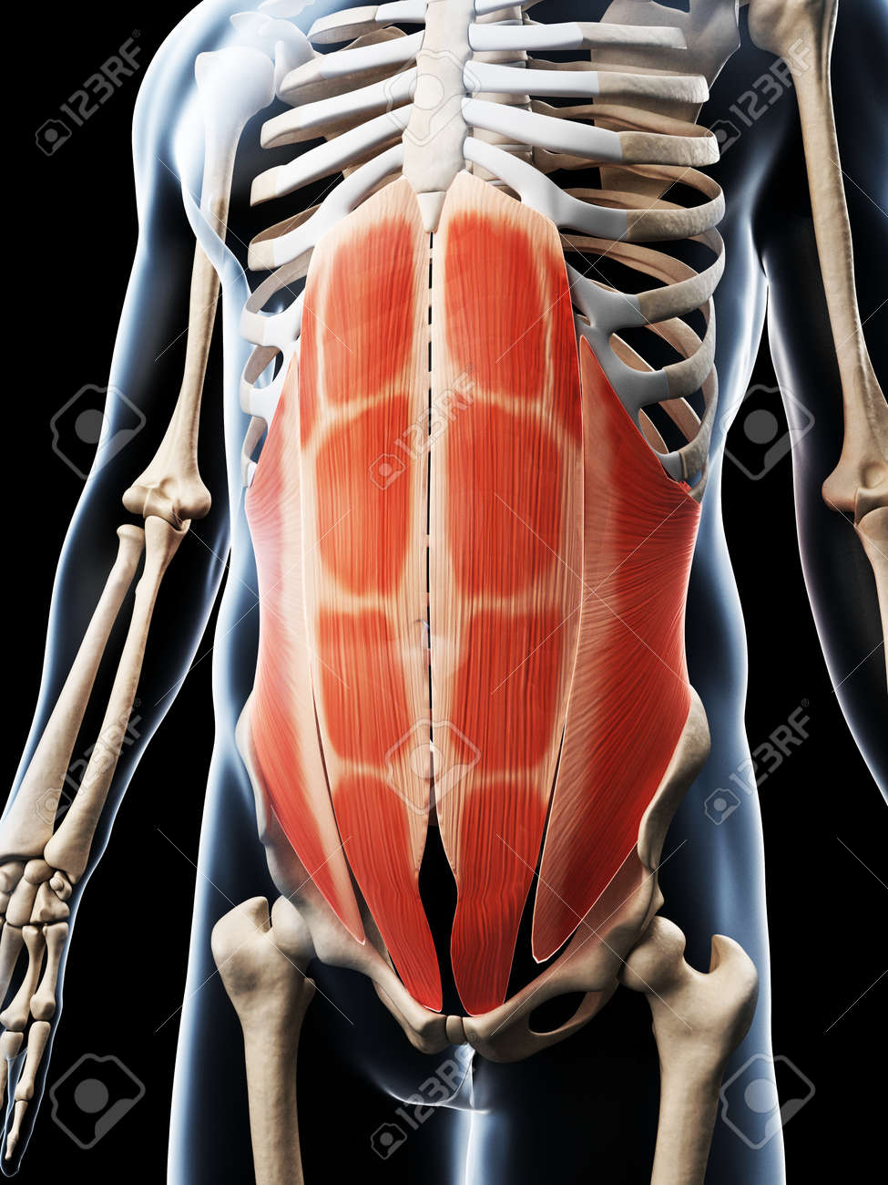 3d Rendered Illustration Of The Abdominal Muscles Stock Photo