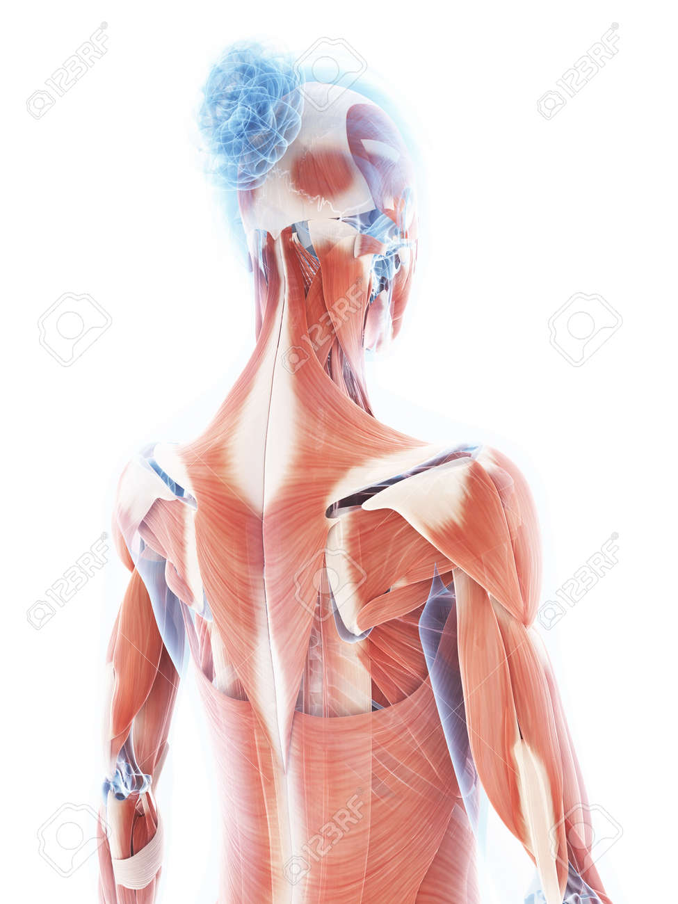 3d rendered illustration of the female muscle system stock photo, Muscles