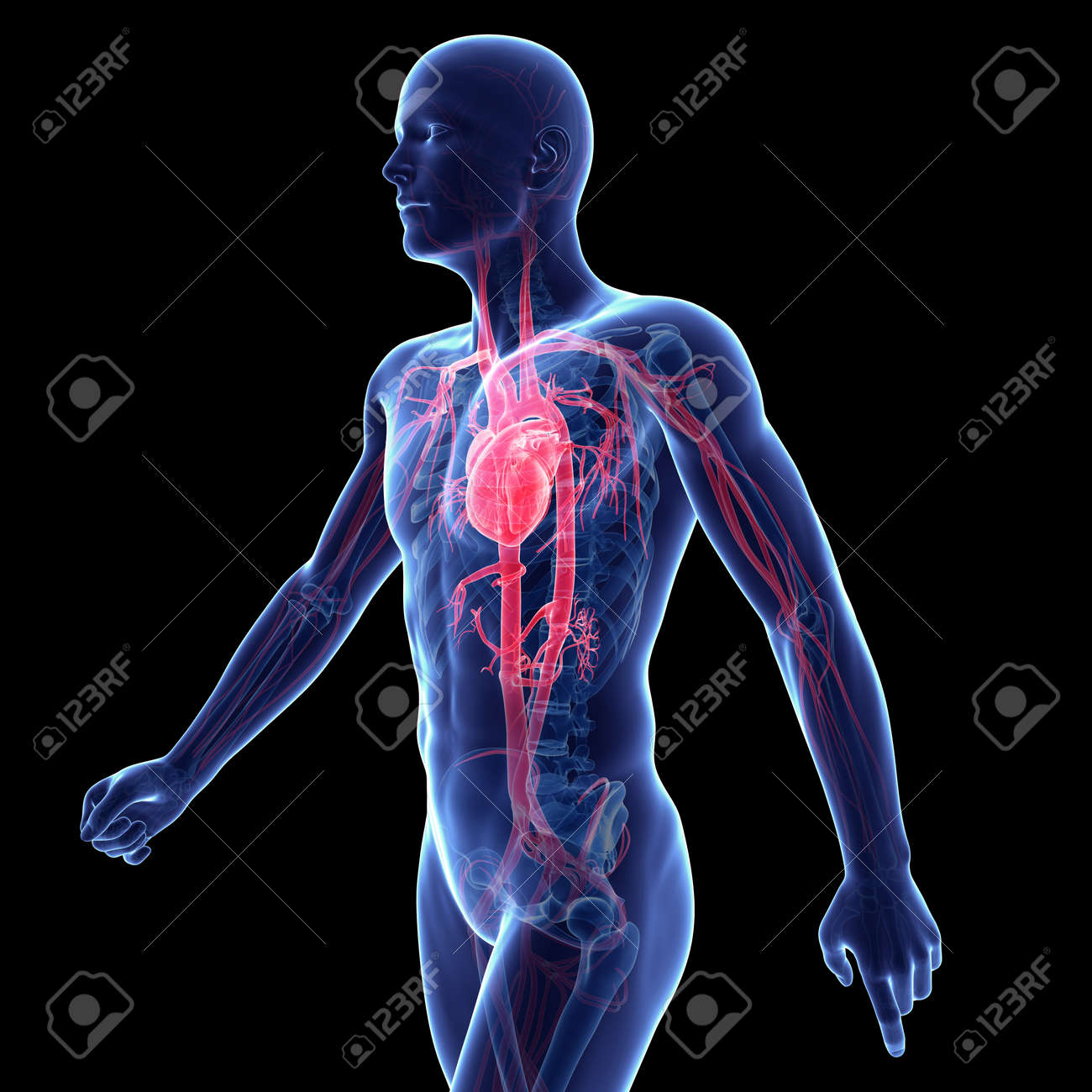 3d Rendered Illustration Of The Vascular System Stock Photo Picture