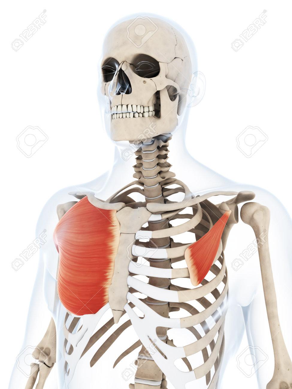 Asombroso Músculo Pectoral Ideas - Imágenes de Anatomía Humana ...