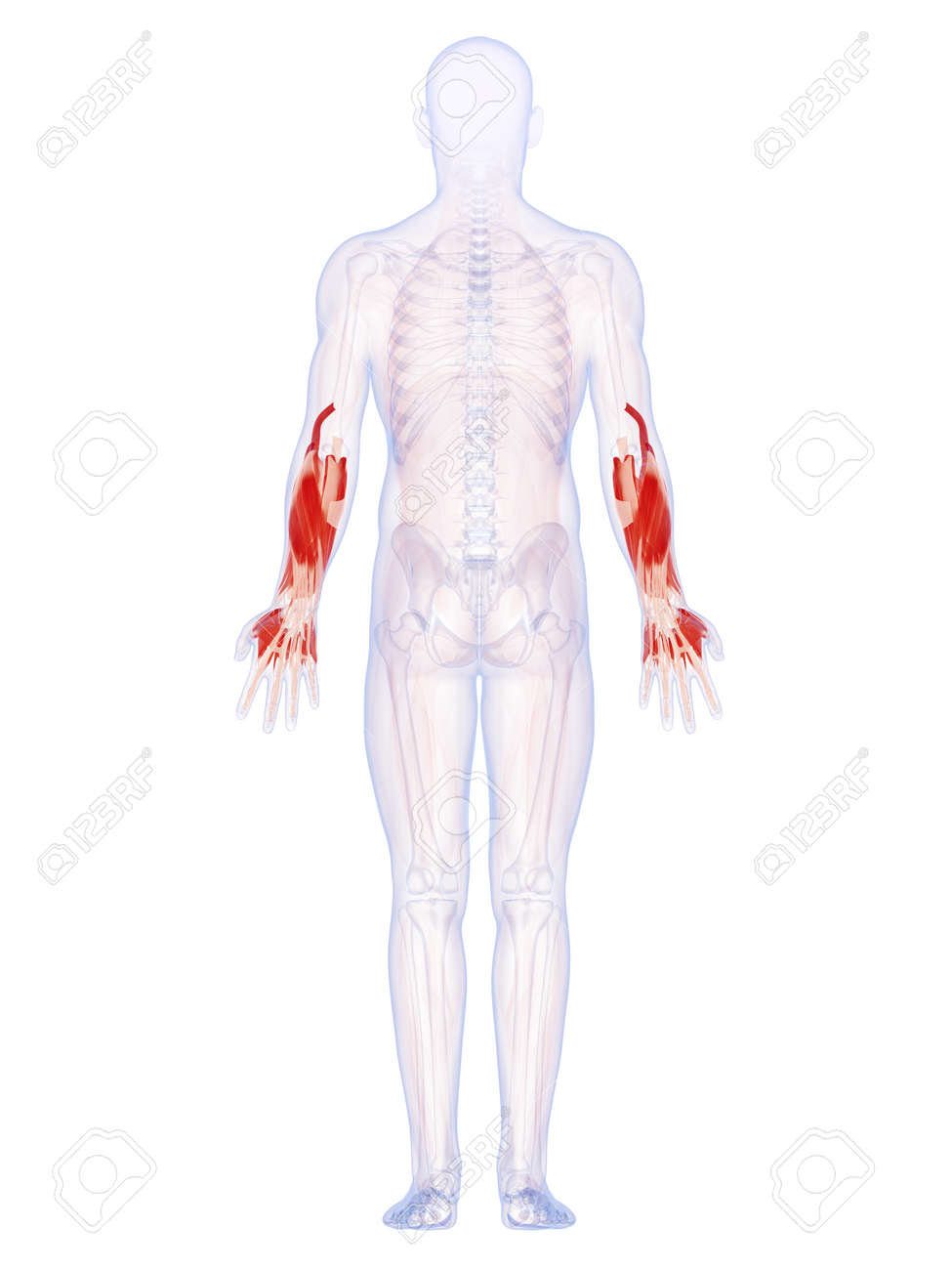 3d Rendered Illustration Of The Lower Arm Muscles Stock Photo ...