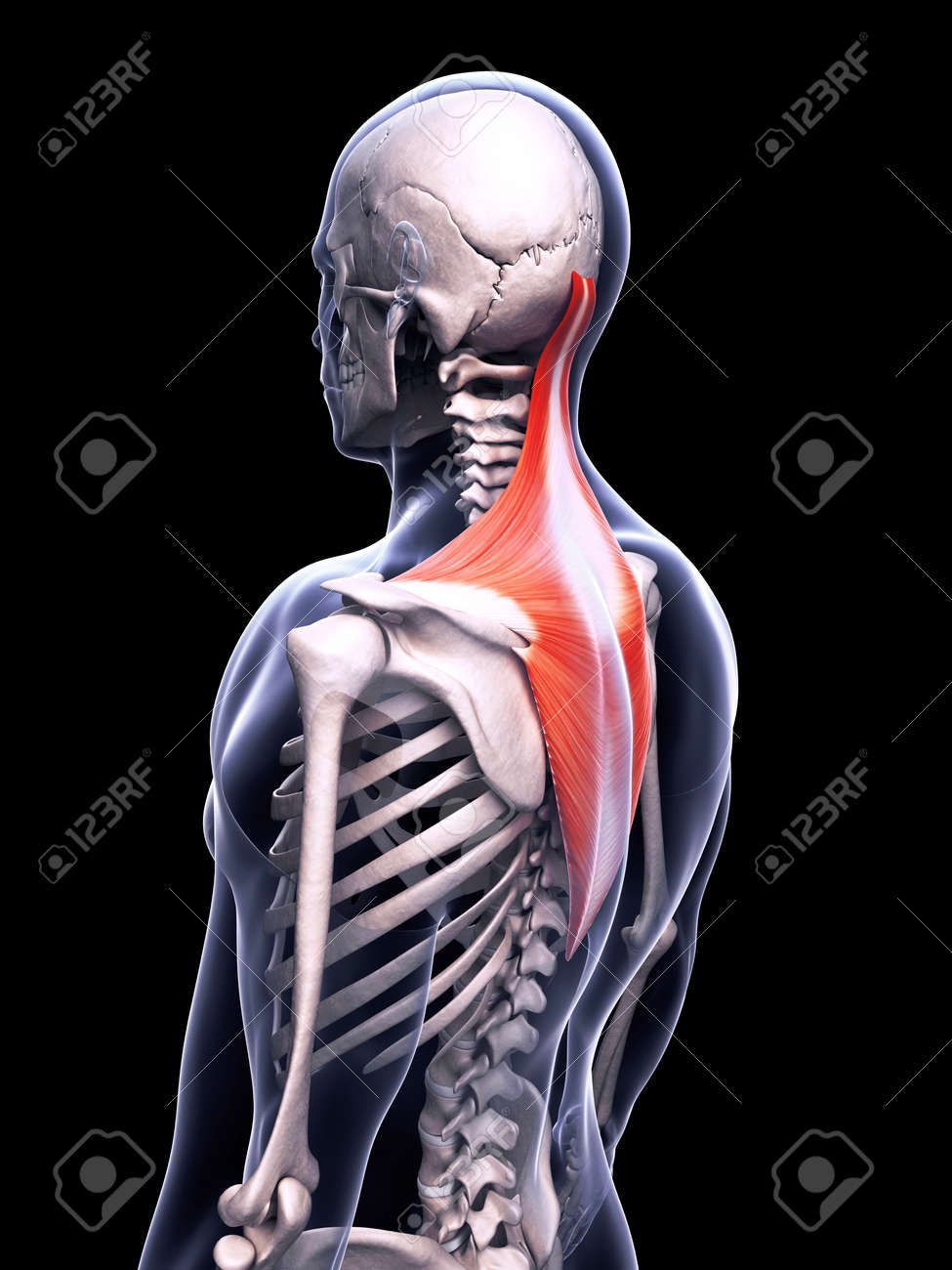 3d Rendered Illustration Of The Trapezius Muscle Stock Photo