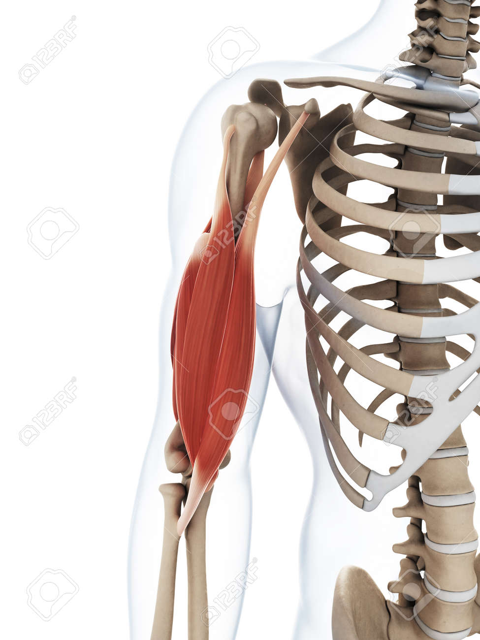 3d Rendered Illustration Of The Upper Arm Muscle Stock Photo