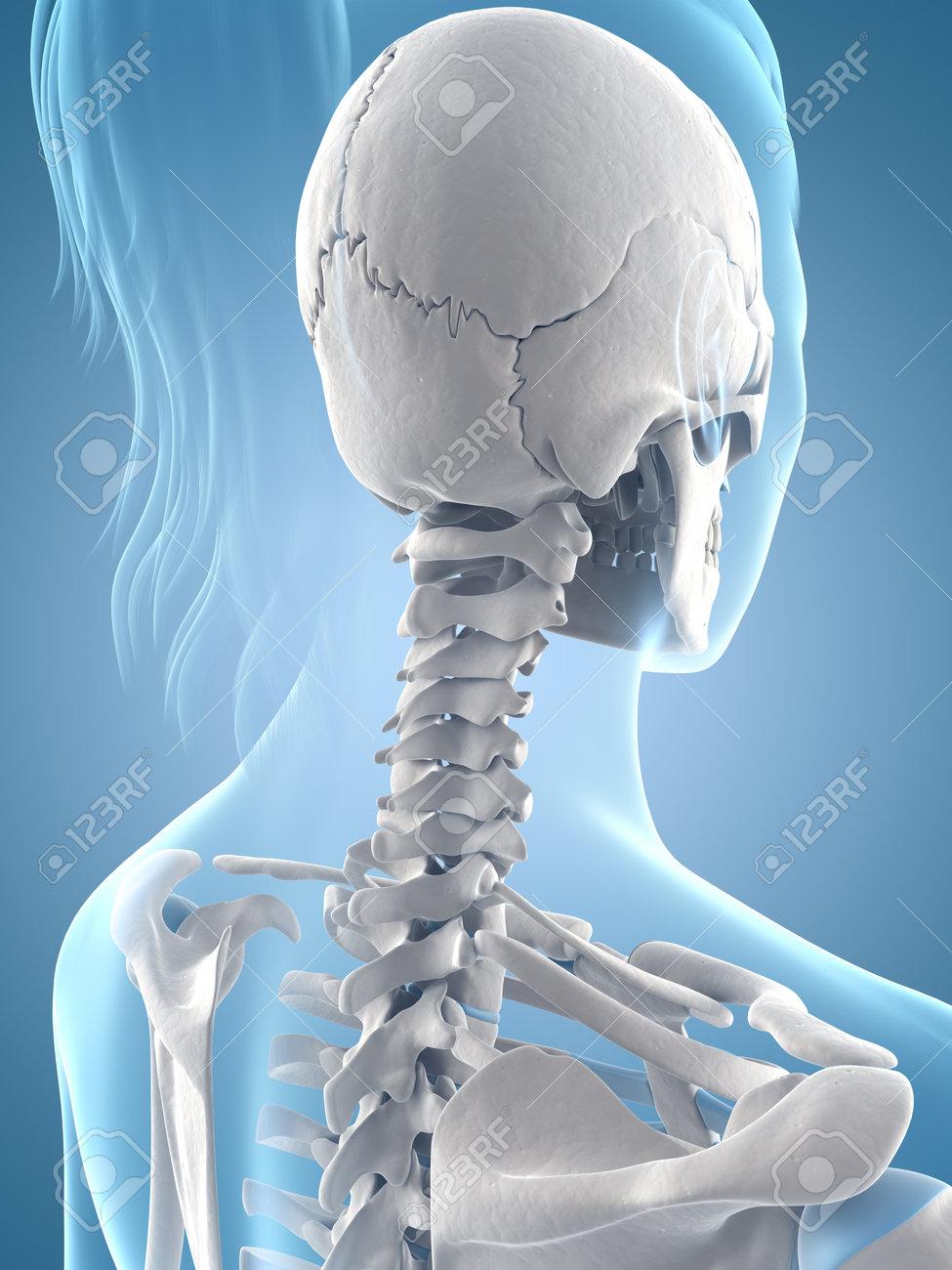 medical illustration of the skull and neck Stock Illustration - 22818621