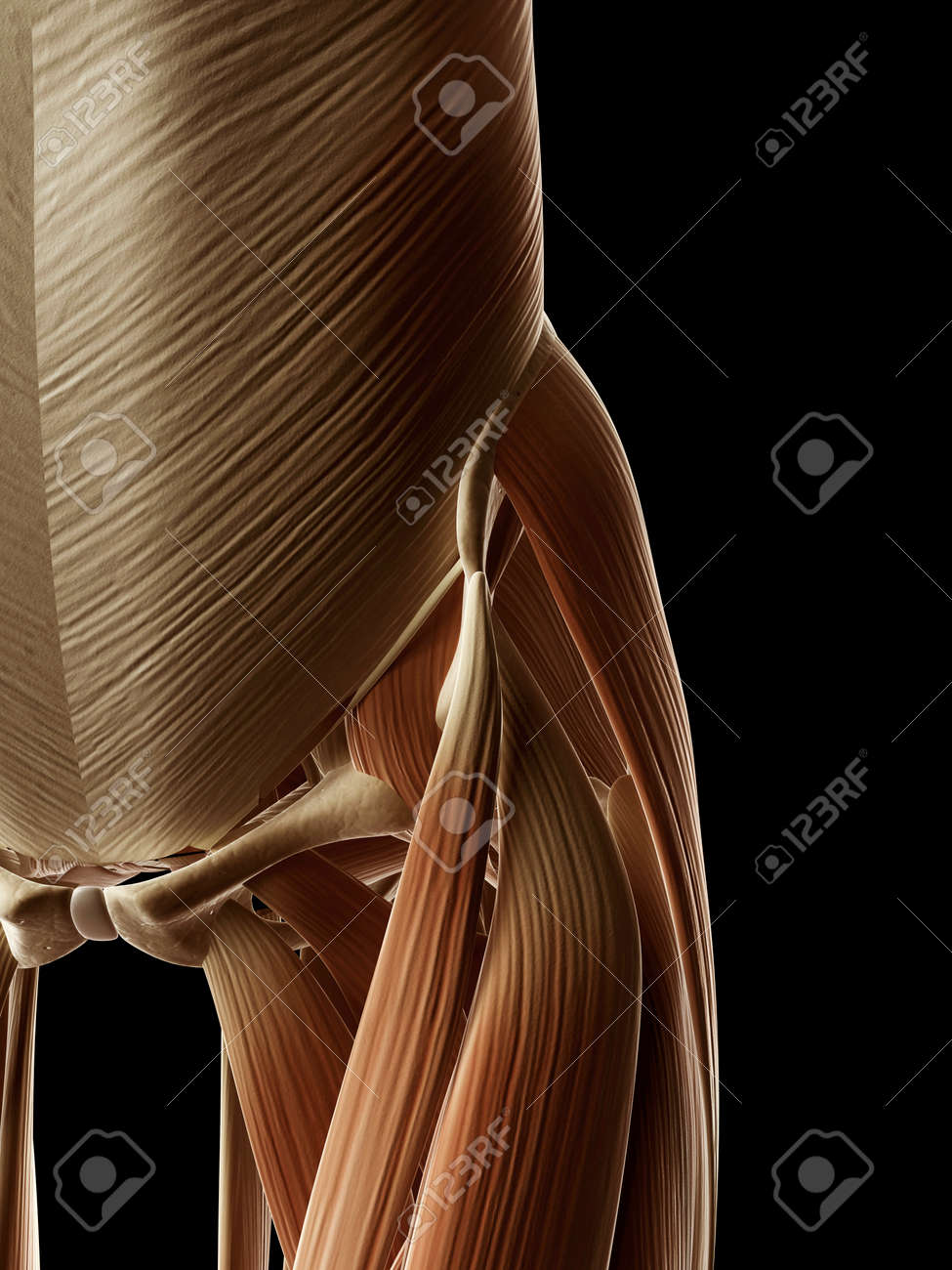 medical illustration of the hip/leg bones Stock Photo - 22818698