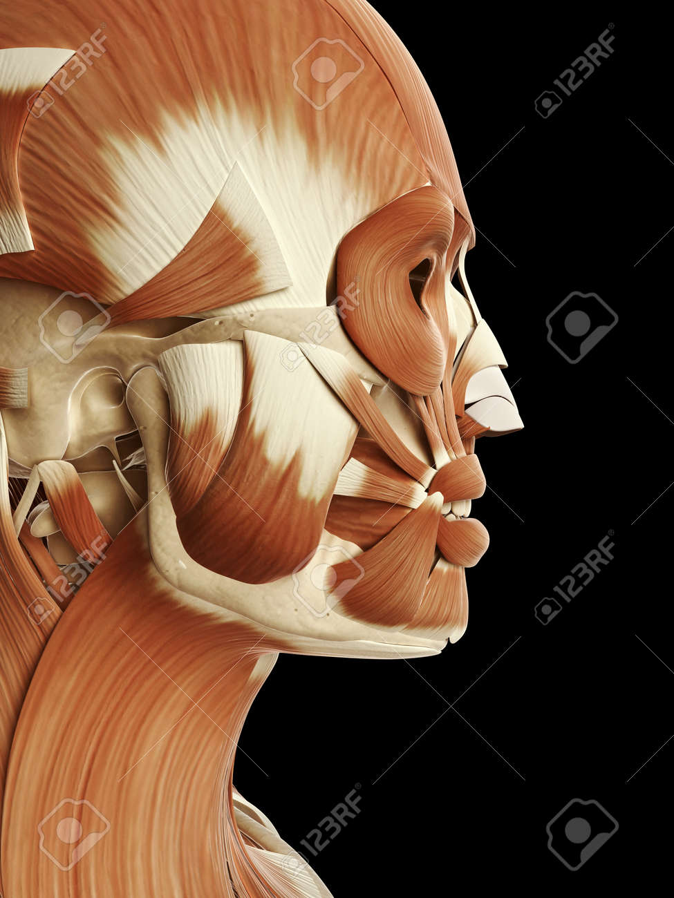 medical illustration of the head and face muscles Stock Illustration - 22818711