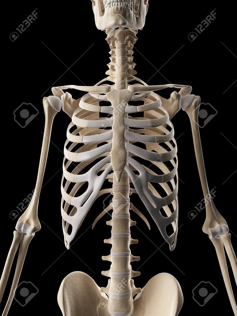 medical illustration of the rib cage Stock Photo - 22818718