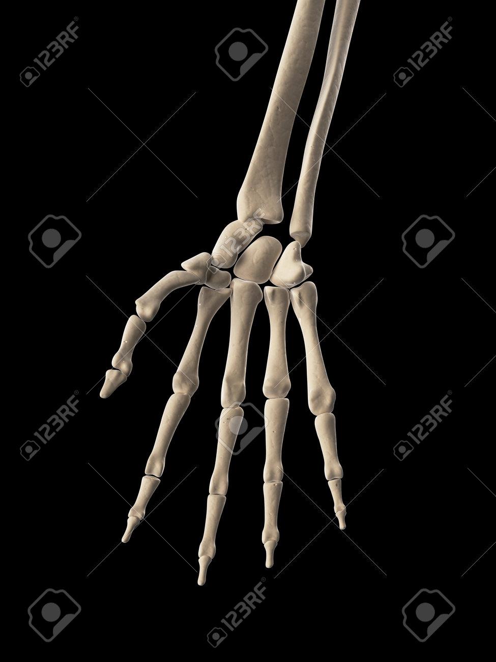 medical illustration of the hand bones Stock Illustration - 22818724