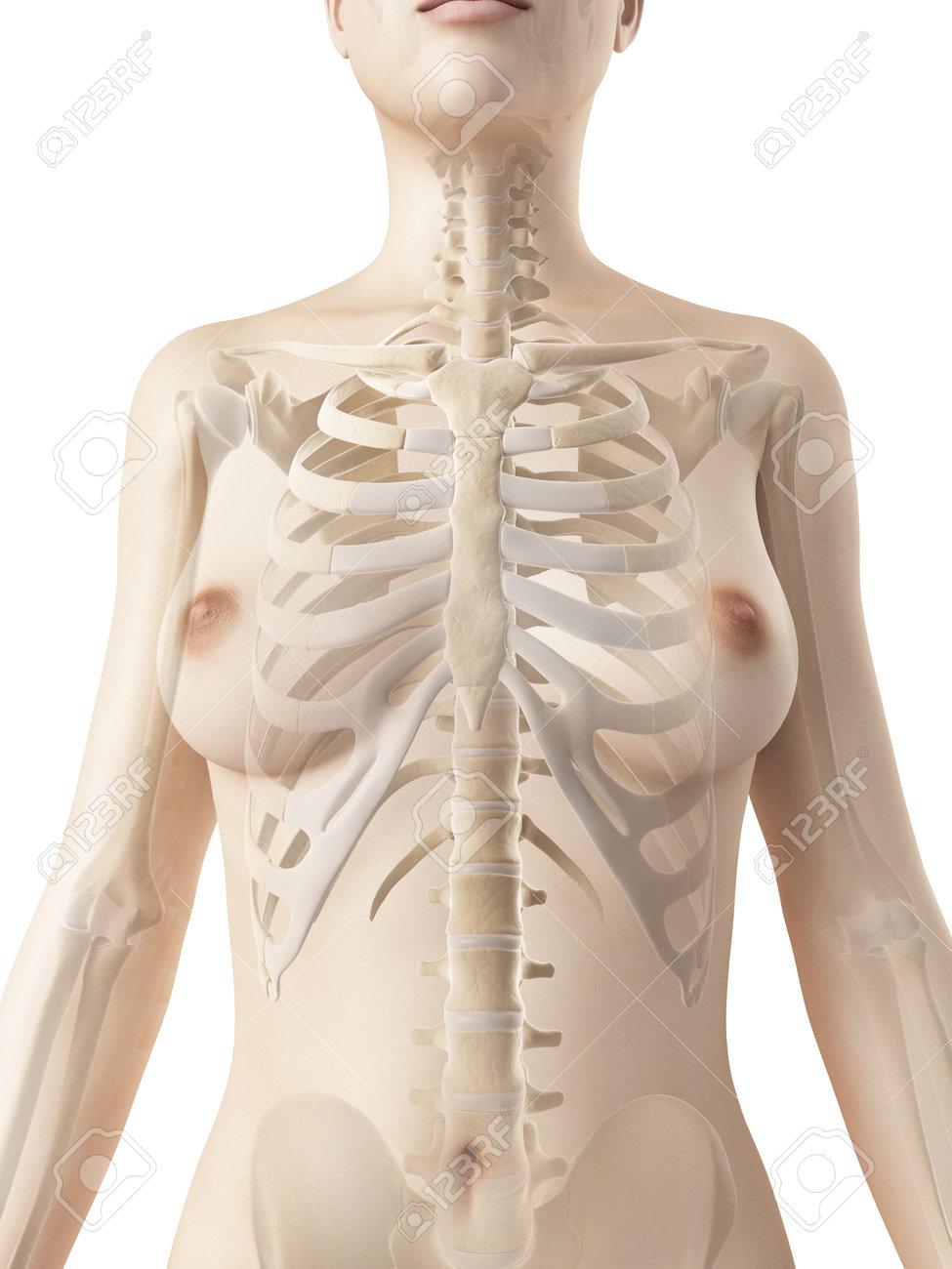rendered illustration of the female thorax bones Stock Photo - 23222177