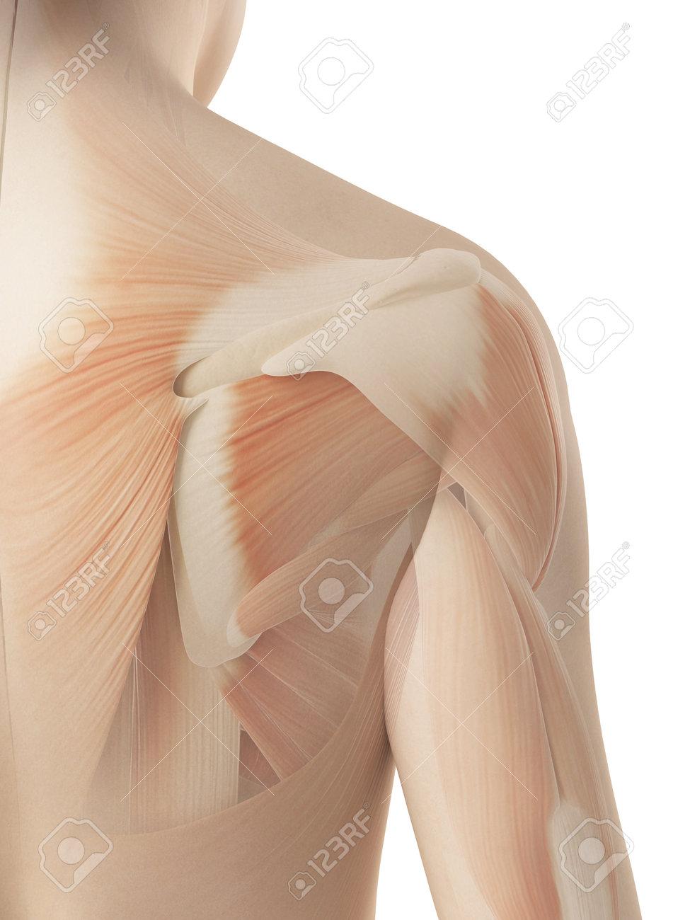 Weibliche Schulter - Anatomie Muskulös Lizenzfreie Fotos, Bilder Und ...