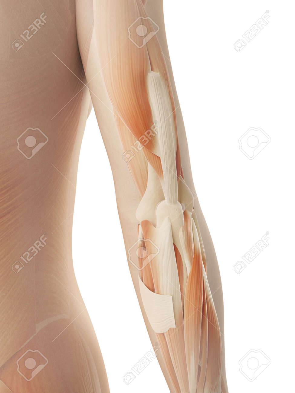 Female Arm Muscles Stock Photo, Picture And Royalty Free Image ...