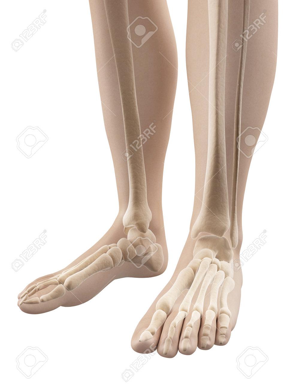 Fuß - Skelett Anatomie Lizenzfreie Fotos, Bilder Und Stock ...