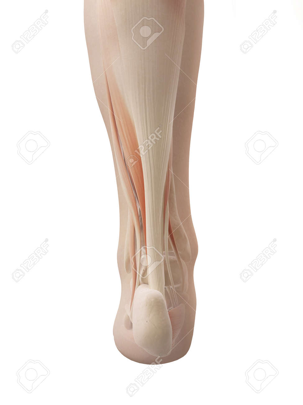 Muscular Foot Anatomy Stock Photo, Picture And Royalty Free Image ...