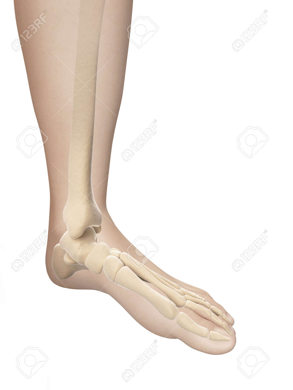 Skelett-Fuß-Anatomie Lizenzfreie Fotos, Bilder Und Stock Fotografie ...