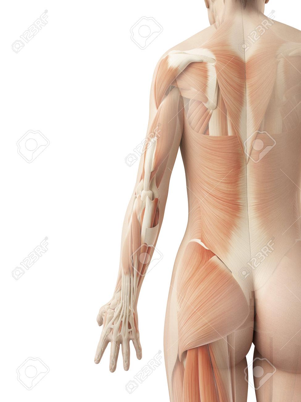 Músculos De La Espalda De Una Mujer Fotos, Retratos, Imágenes Y ...