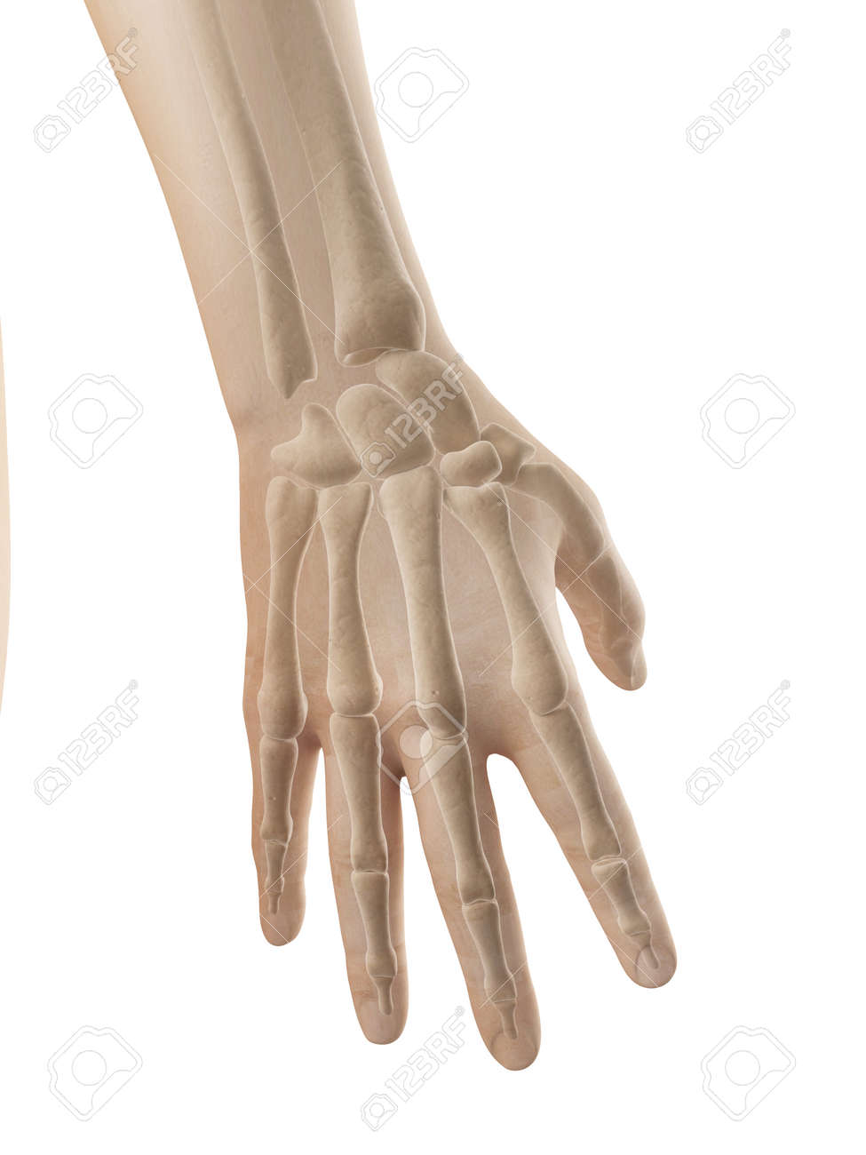 Hand Anatomy - Bones Of Hand And Fingers Stock Photo, Picture And ...