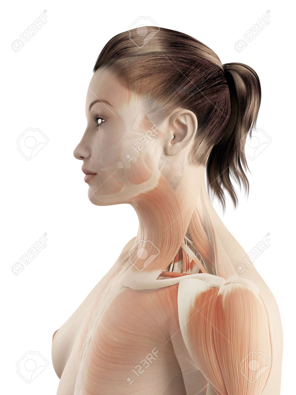 Muscles Of The Neck Stock Photo Picture And Royalty Free Image