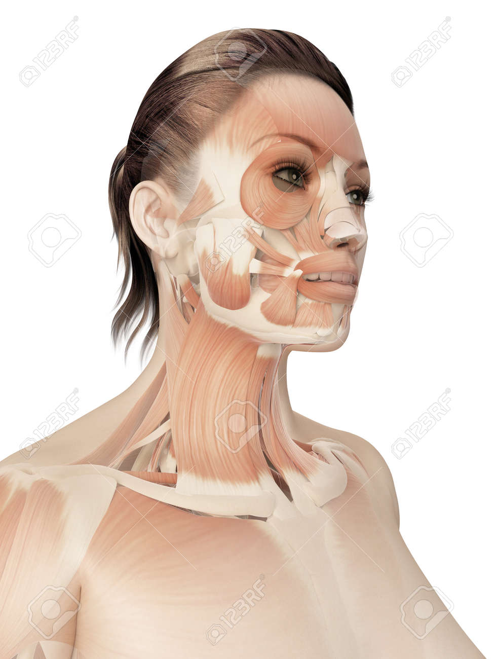 Muscles Of The Face Stock Photo Picture And Royalty Free Image