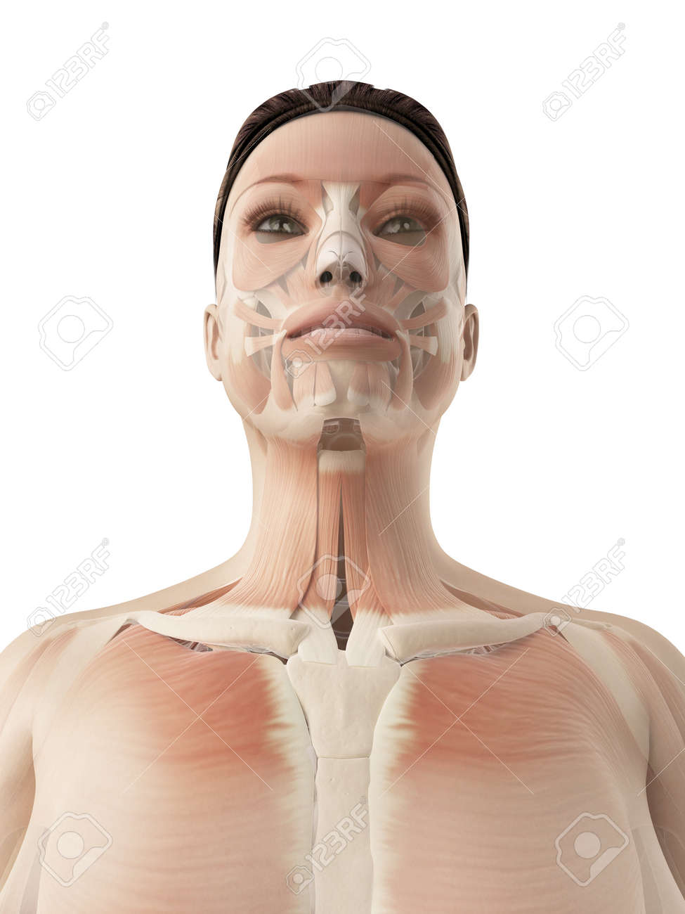 muscles of the face Stock Photo - 23222239