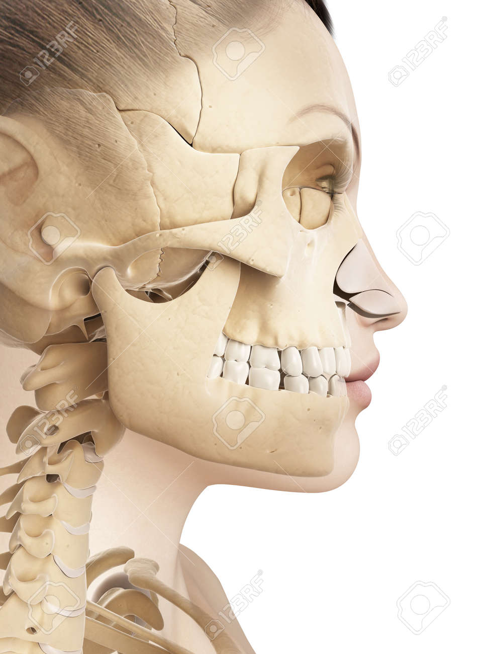 Female Skull Anatomy Stock Photo, Picture And Royalty Free Image ...