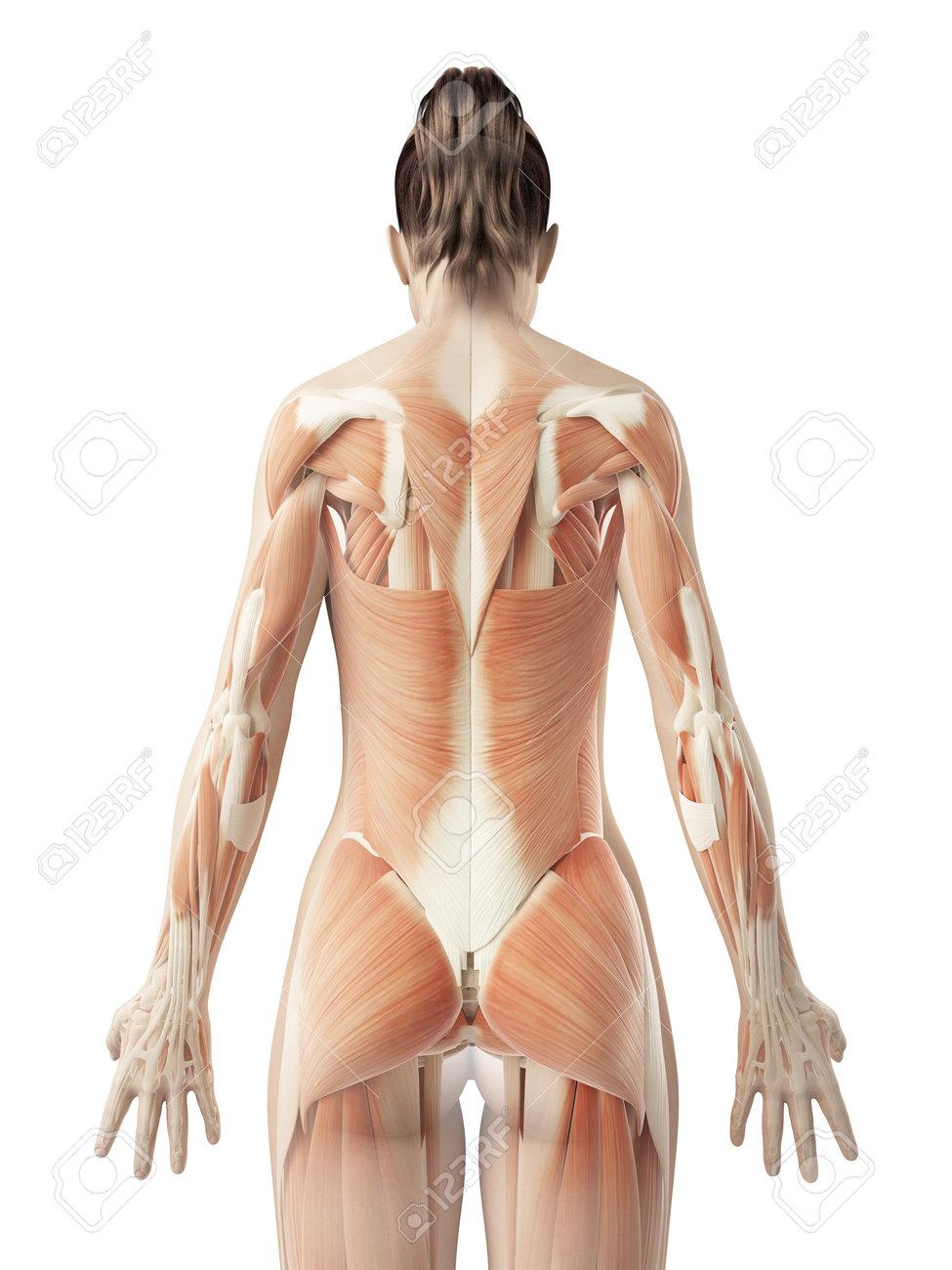 Músculos De La Espalda Femeninos Fotos, Retratos, Imágenes Y ...