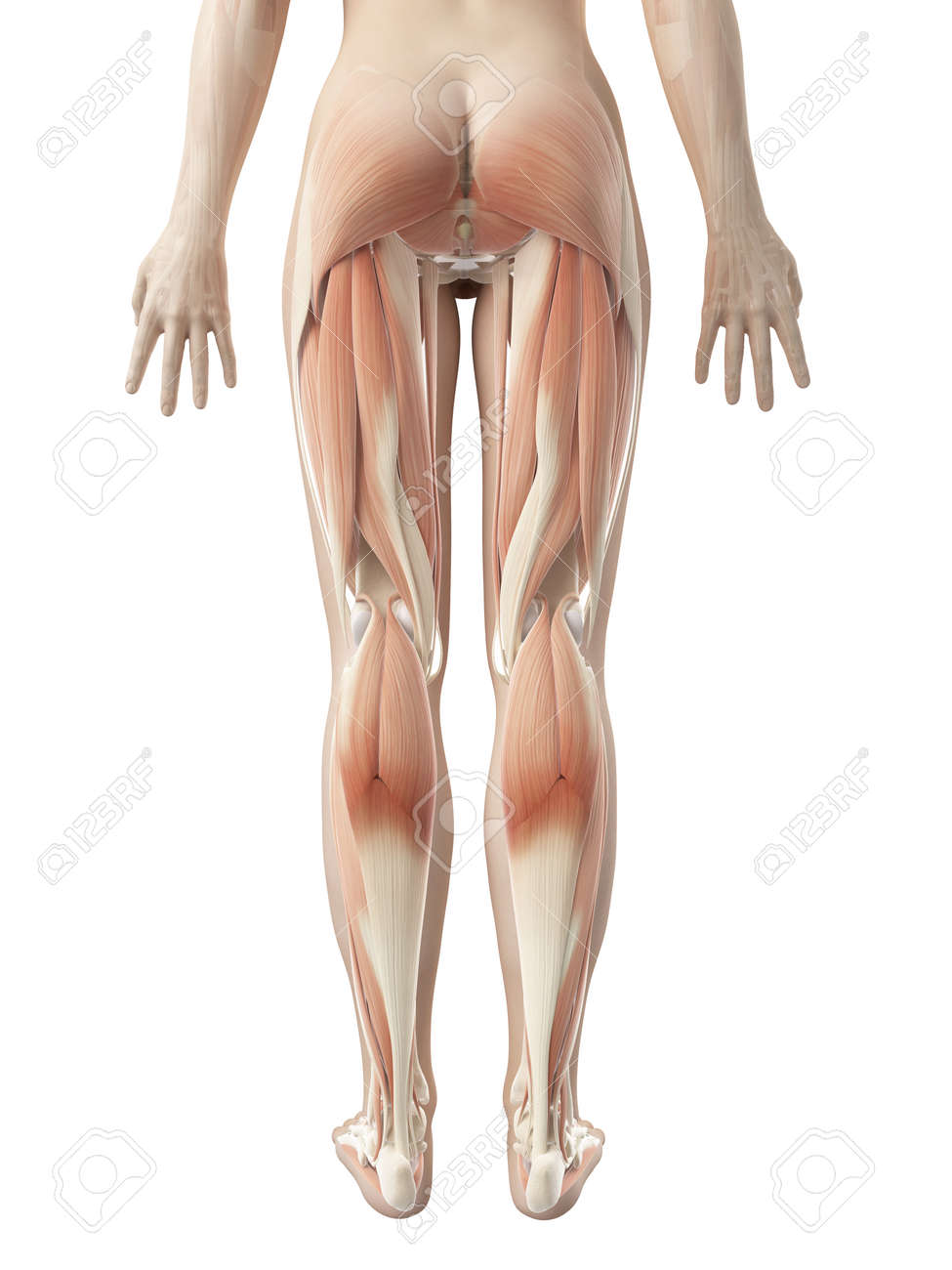 Female Leg Musculature Stock Photo, Picture And Royalty Free Image ...