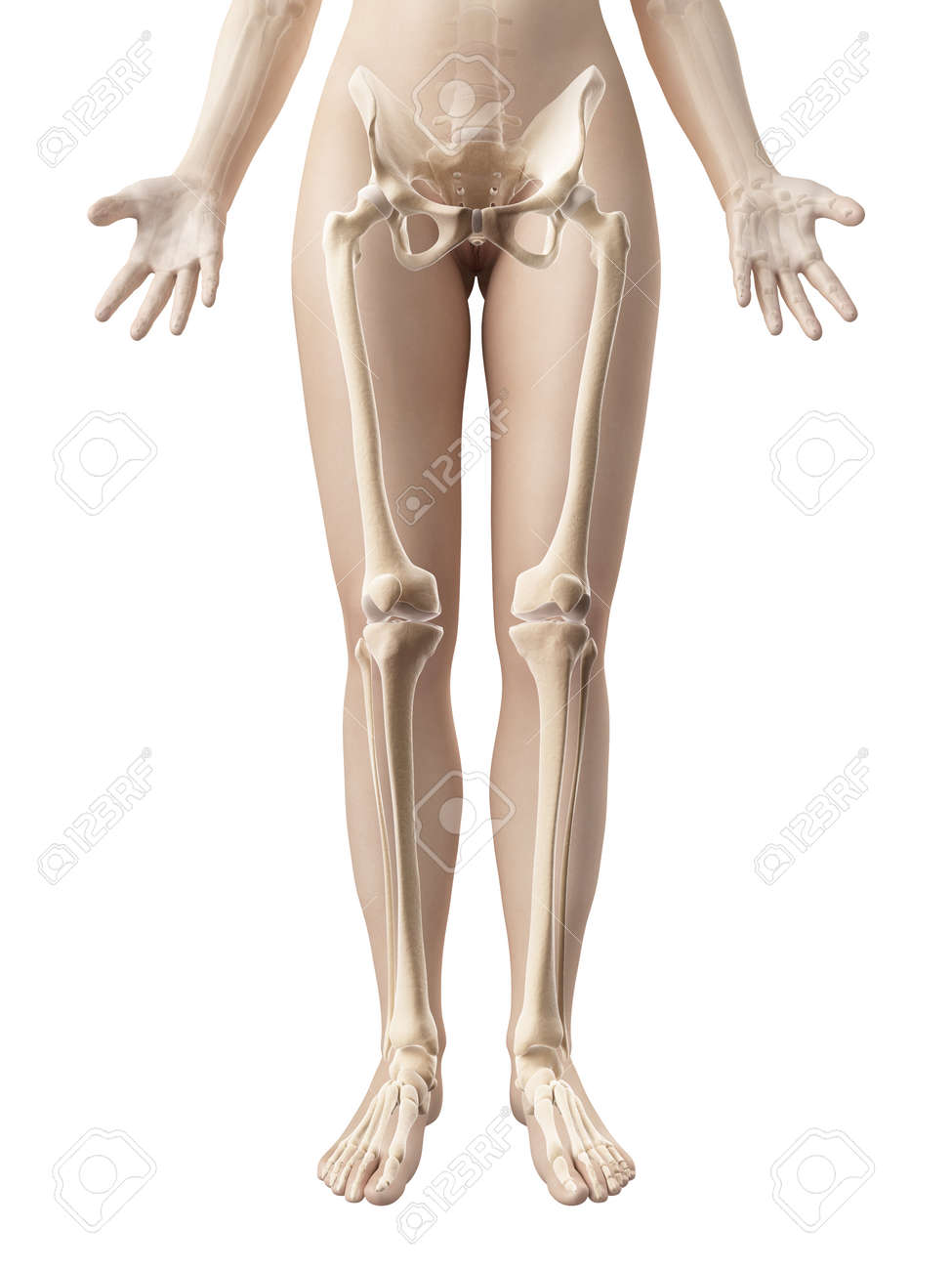 Female Leg Bones Stock Photo Picture And Royalty Free Image Image
