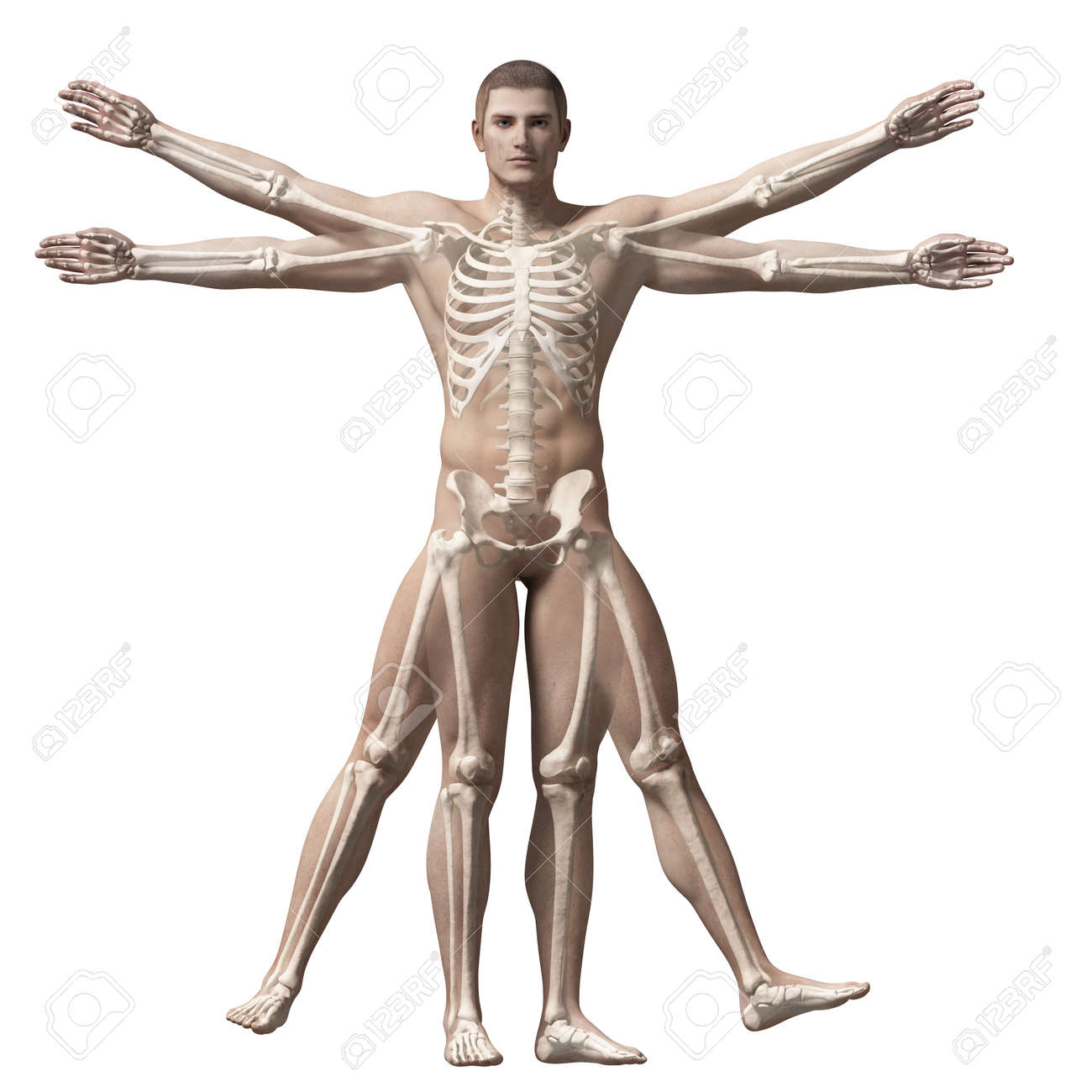 Vitruvian Man Skeleton Stock Photo Picture And Royalty Free Image