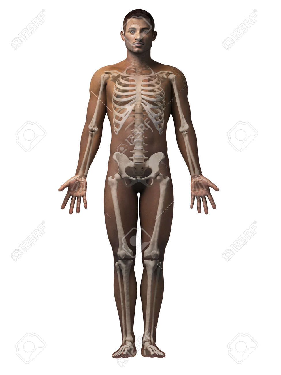 Anatomy Of An African American Man Skeleton Stock Photo Picture