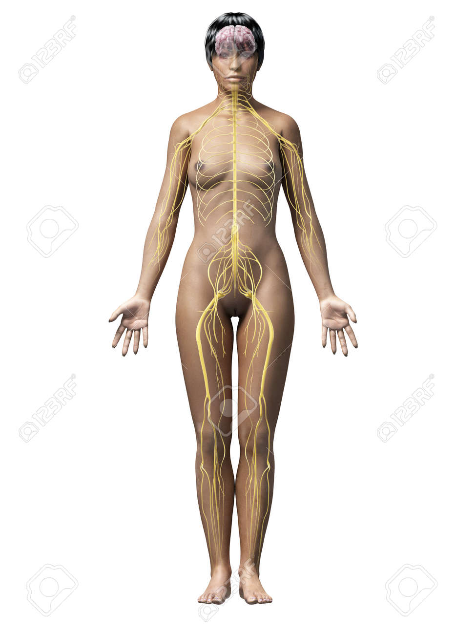 Anatomie D\'une Femme Afro-américaine - Nerfs Banque D\'Images Et ...