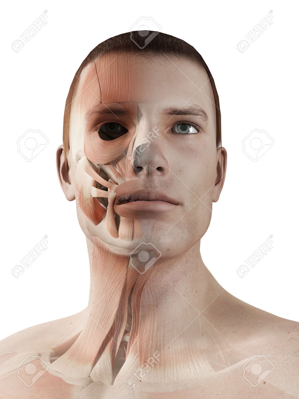 Medical 3d Illustration - Male Muscle System - Facial Muscles Stock ...