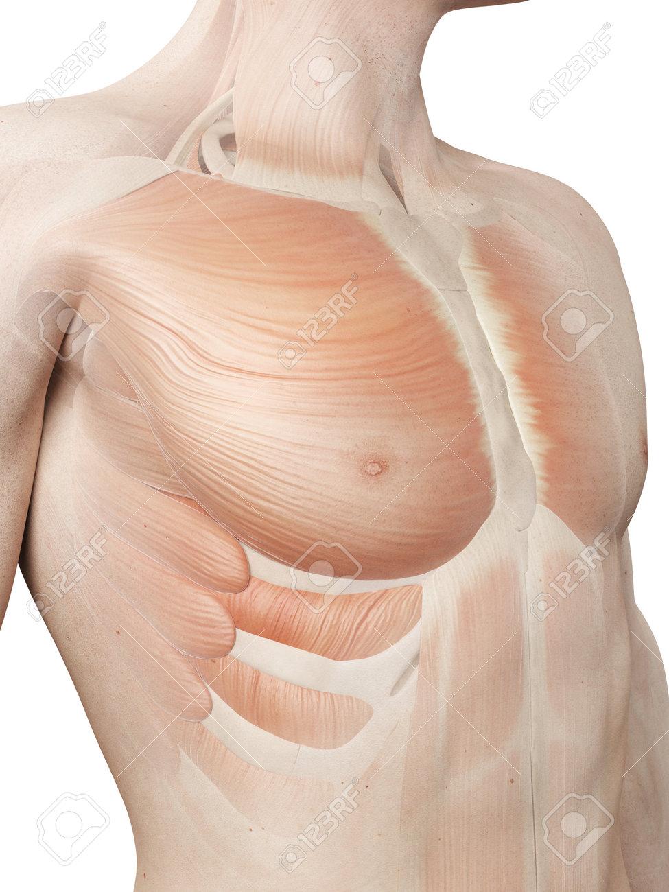 Medizinische 3D-Darstellung - Männlich Muskelsystem - Brustmuskel ...