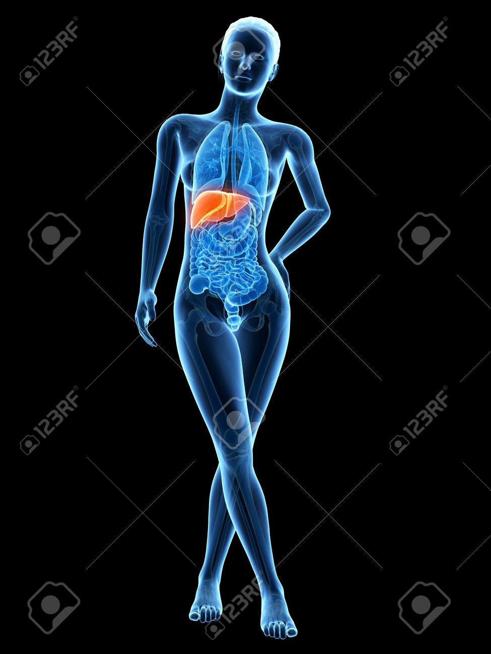 3d Ilustración Médica - Femenino Anatomía - Hígado Fotos, Retratos ...